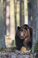 Braunbaer, Ursus arctos, brown bear