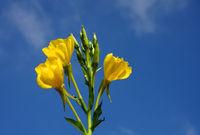 Evening primrose against a blue sky