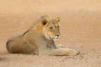 Young male African lion (Panthera leo)