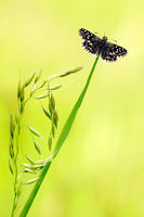 grizzled skipper ready for takeoff