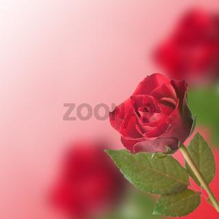 Rose Rahmen