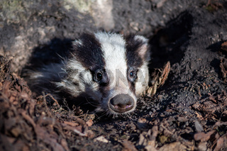 Badger looks out of the hole, animal in nature habitat. Wild animal in the wood