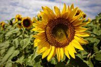 Prairie Sunflower Field
