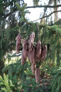 Picea abies, Waldfichte, norway spruce, Zapfen, cones