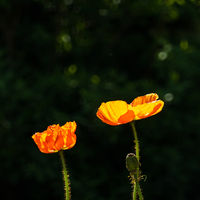 Two orange poppies