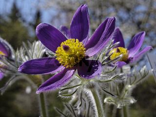 Pulsatilla vulgaris, Gewöhnliche Küchenschelle - Pasque flower, Common pasque flower