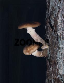 Hallimasch am Baum