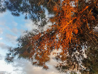 Beautifully lit pine tree in Athalassa Park, Nicosia, Cyprus on a beautiful sunny afternoon