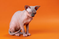 Young hairless female Sphynx Cat sitting on orange background and attentively looking down