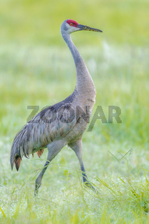 Portraiture of crane in field.