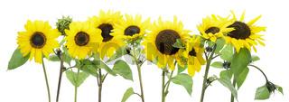Isolated sunflowers border