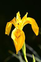 210610-242 Sumpfschwertlie, Yellow flag, Iris pseudacoris.jpg