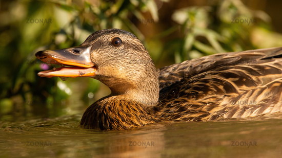 Mallard swimming in water with open mouth from soffit.
