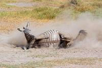 A plains zebra (Equus burchelli) rolling in dust