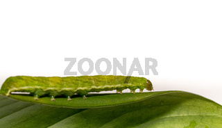 close up of Angle Shades caterpillar on a green leaf on a white background