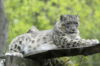 Leopard 008