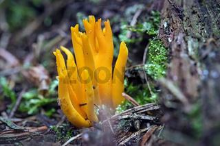 Klebriger Hörnling ( Calocera viscosa ).