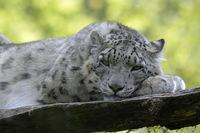 Leopard 009
