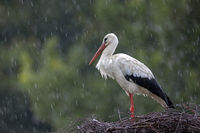 White Stork in heavy rain on the nest / Ciconia ciconia
