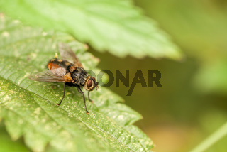 Raupenfliege, tachinia fly  (Tachinidae)