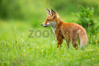Young red fox standing on meadow in summer sunlight