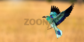 European roller landing on field with copy space in panoramic shot