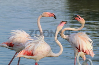 Flamingos fighting