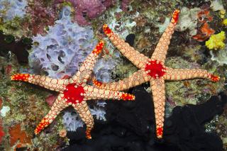 Rote Maschen-Seesterne
