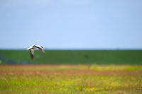 Single common shelduck flying in the air