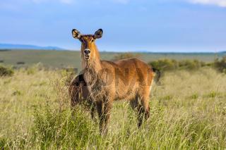 The waterbuck - antelope