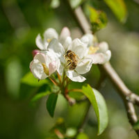 Bee pollinating a flower from a pear tree in a garden in springtime
