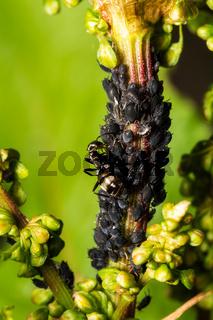 Ameisen und Blattläuse