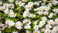 Close up of floral background with beautiful chamomile flowers