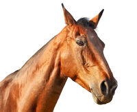 Portrait of a light chestnut horse in profile on a white background