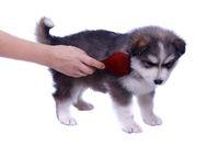 Husky Welpe beim Bürsten