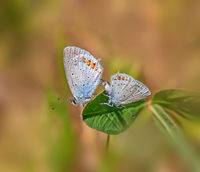 Gossamer-winged butterflies 'Cupido argiades'