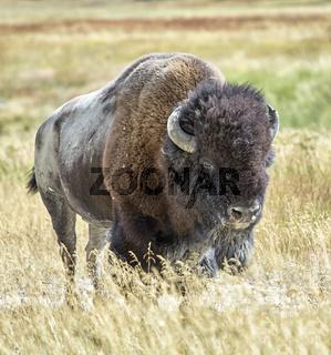 Yellowstone National Park. Wyoming. USA