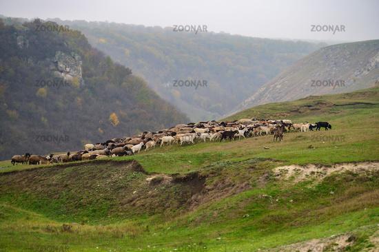 Hills landscape with grazing sheeps flock, Moldova