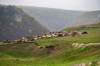 Hills landscape with grazing sheeps flock, Moldova