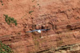 Eissturmvogel im Flug