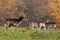 Bunch of fallow deer observing on glade in autumn.