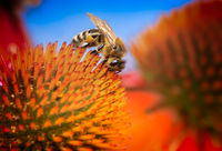 Bee collecting nectar in an echinacea flower blossom