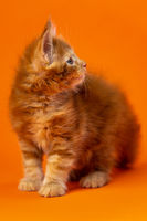 Beautiful fluffy male altered of Maine Coon Cat six weeks old standing on orange background