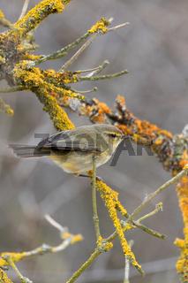 small song bird Willow Warbler, Europe wildlife