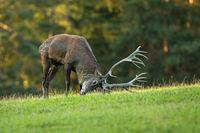 Red deer marking territory with antlers on meadow in rutting season