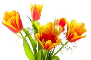 Bouquet of yellow-red tulips, it is isolated on white