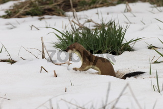 stoat (Mustela erminea) Swabian Alps  Germany