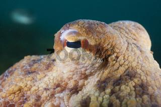Auge Gemeiner Oktopus