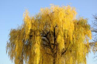 Salix alba Tristis, Trauerweide, Weeping Willow, Herbstlaub