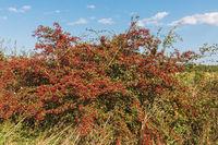 Strauch des Eingriffeligen Weißdorns (Crataegus monogyna) im Herbst mit roten Früchten